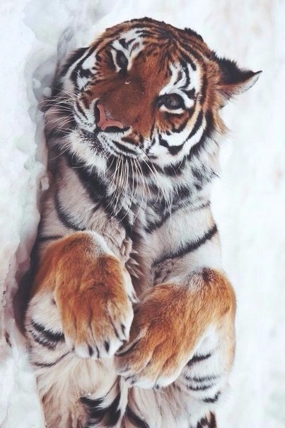 Tumblr tiger pictures